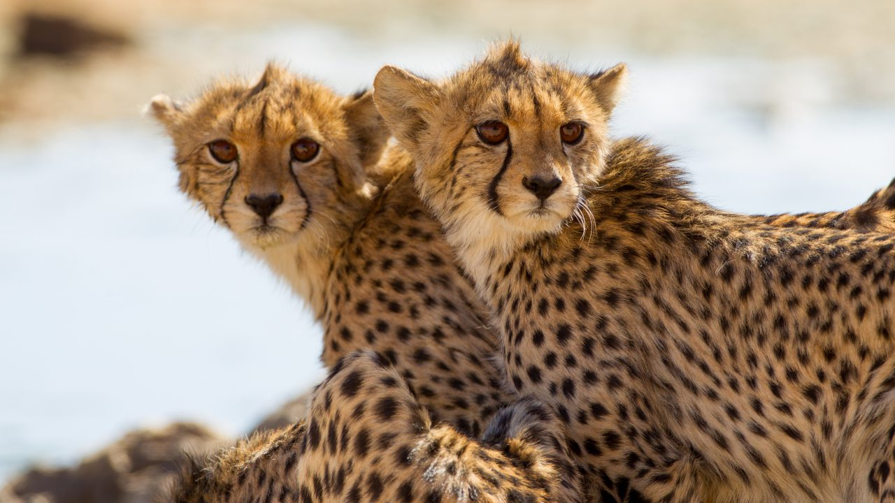 https://perintisdidik.com/wp-content/uploads/2019/03/cheetah-1280x720.jpg
